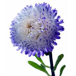 Gambar Bunga Aster yang Cantik 12