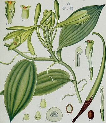Planta de Vainilla Vanilla planifolia