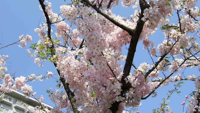 咲き群れる桜