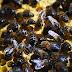 Μισό δισεκατομμύριο μέλισσες έχουν πεθάνει από φυτοφάρμακα στη Βραζιλία