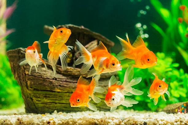 Goldfish Aquarium – How to Set One Up