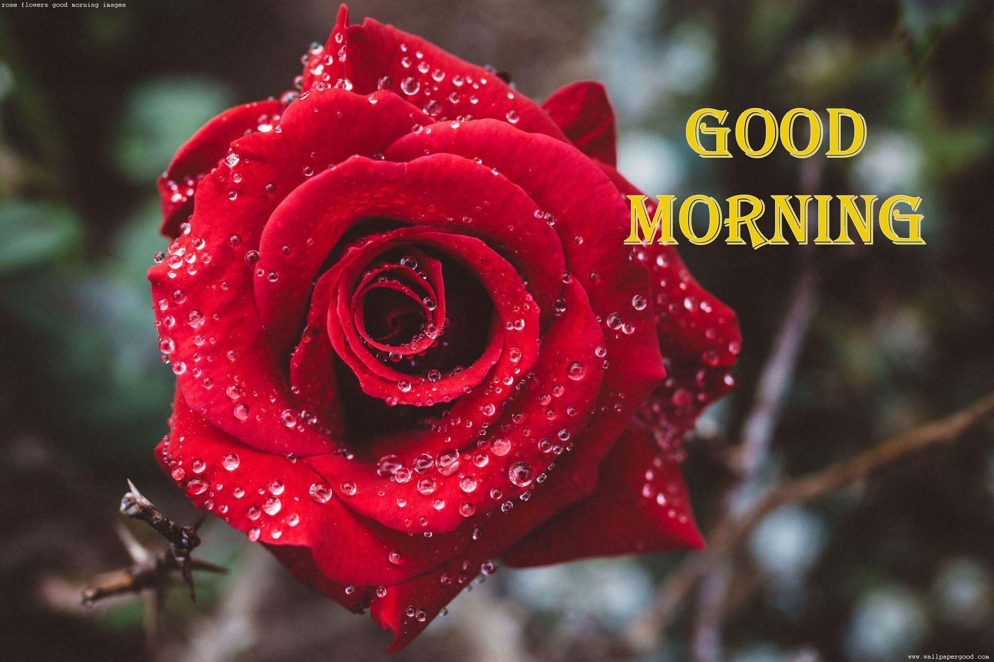 red rose flowers good morning images