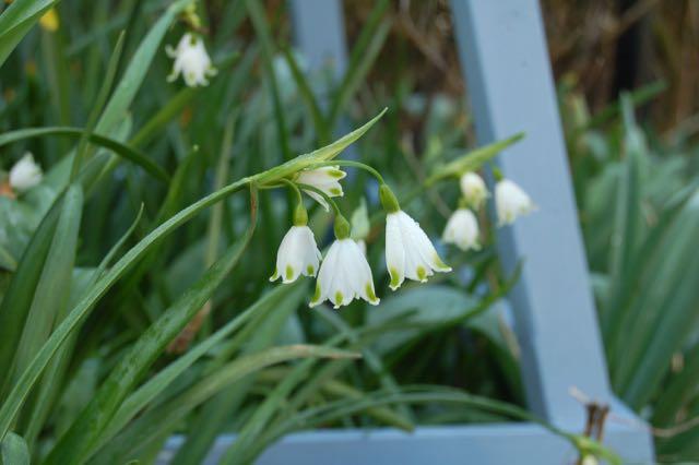 Spring garden Leucojum