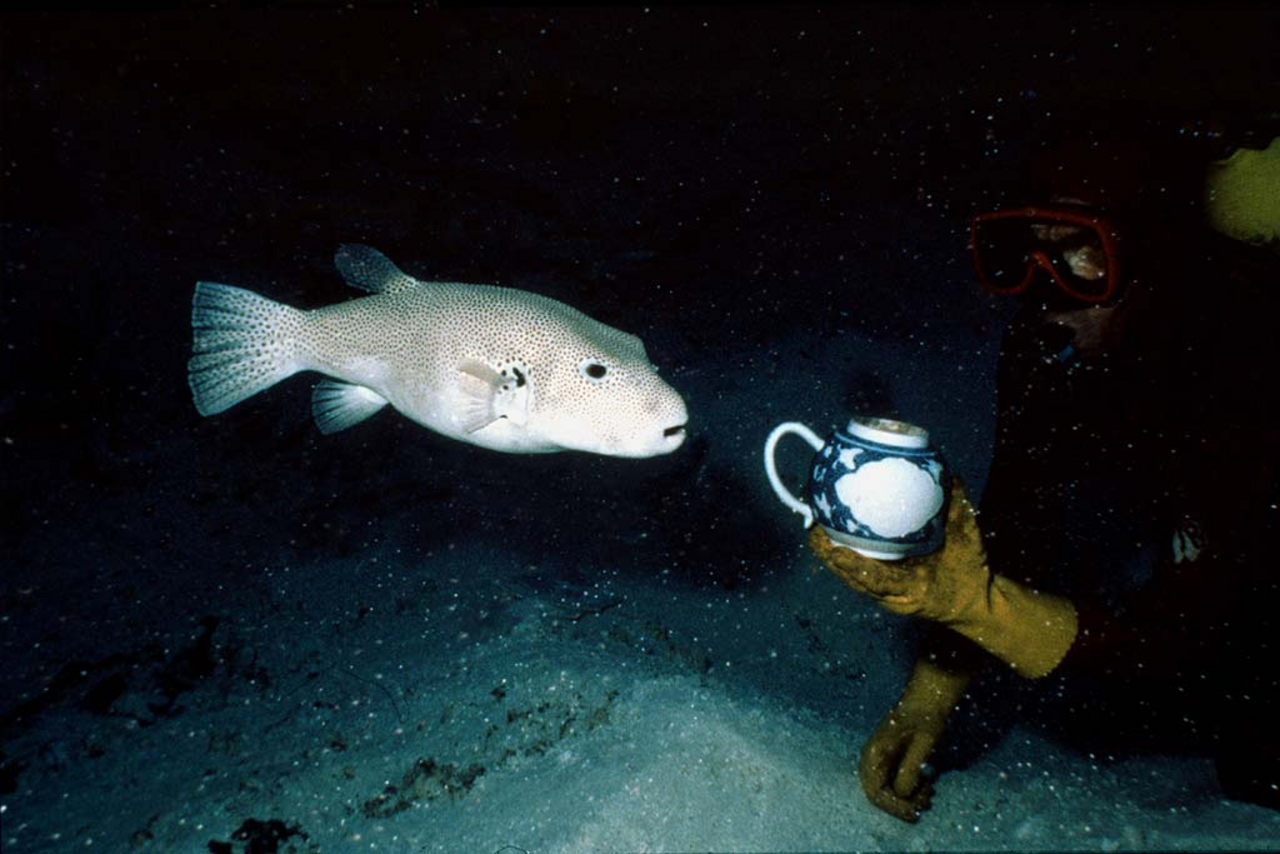 curious pufferfish swims towards a blue and white teapot during the excavation of the Griffin