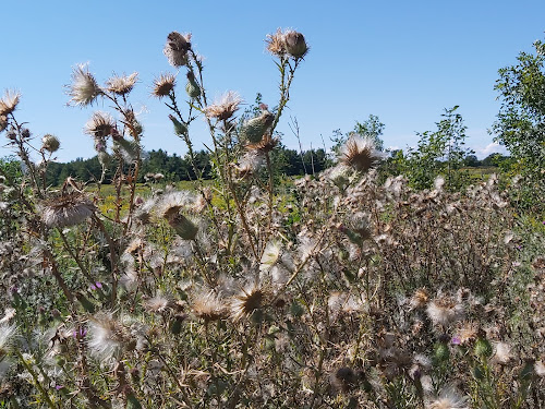 Thistles gone to seed.