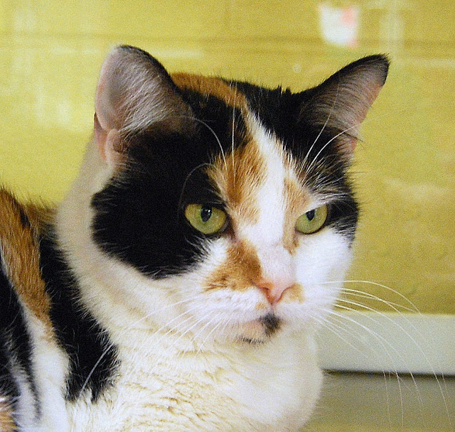 The Amazing Calico Cat - Cat Breeds in photographs