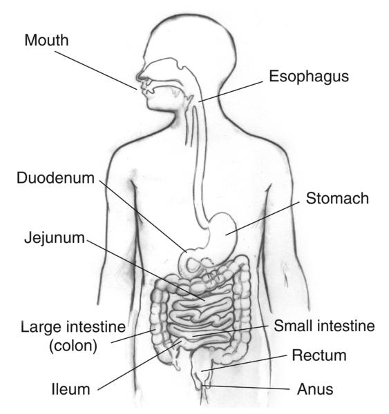 मानव पाचन तंत्र - Human Digestive System