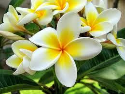 Manfaat khasiat Bunga Kamboja kuburan kering jepang kelopak 6 untuk kecantikan