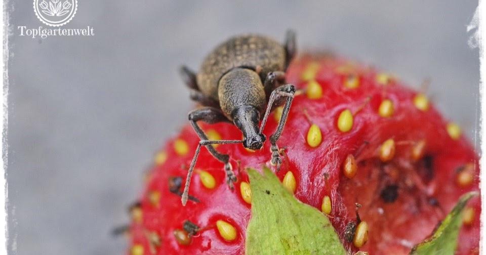 Was tun gegen den gefurchten dickmaulr ssler im garten oder warum erdbeerpflanzen im fr hling - Was tun gegen kellerasseln im garten ...