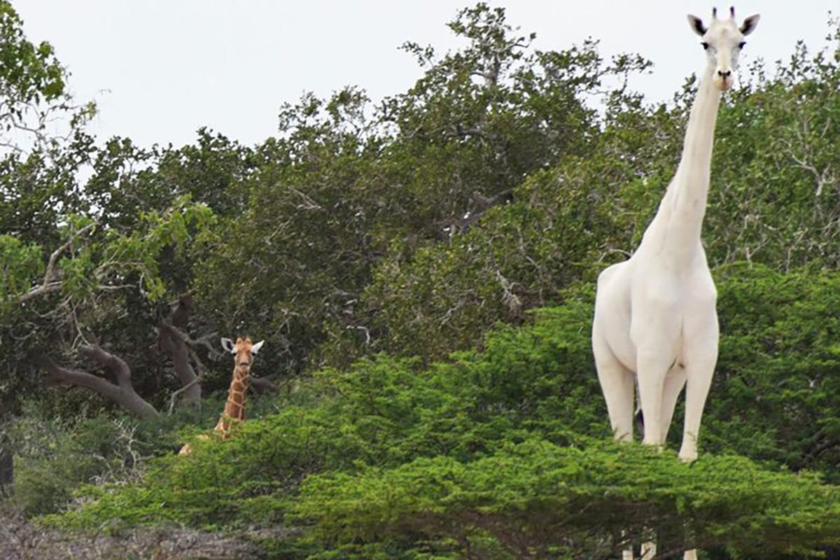 White Giraffes