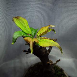 野梅の発芽