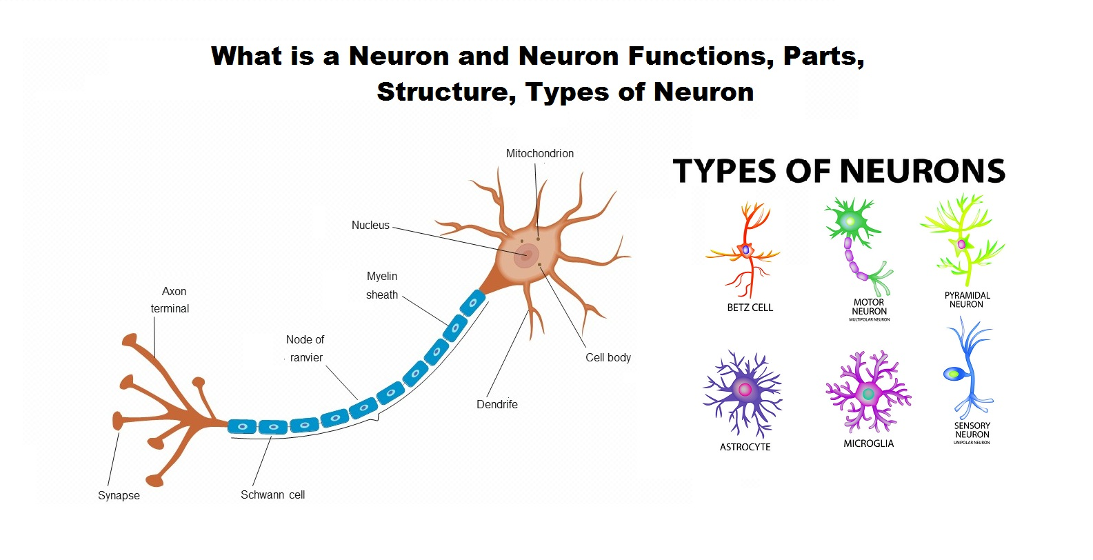 What Is A Neuron And Neuron Functions Parts Structure
