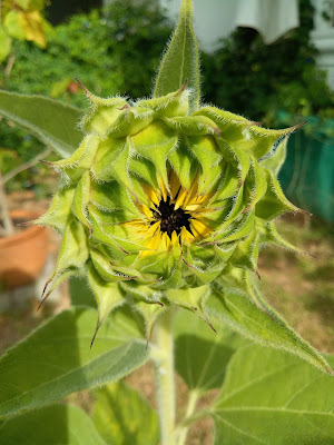 Sunflower bud about to open