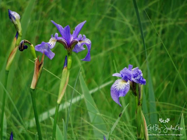 Newfoundland Native Wildflowers