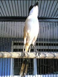 Burung Cendet - Tisp Pemberian Pakan Burung Cendet Agar Selalu Sehat dan Gacor - Penangkaran Burung Cendet