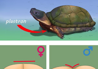 know turtle gender