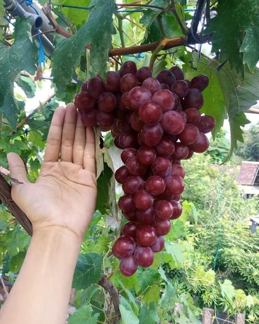 bibit anggur import nizina grafting Batu