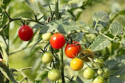 7 Cara Menanam Tomat Agar Berbuah Banyak