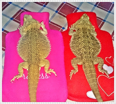 bearded dragon constipation