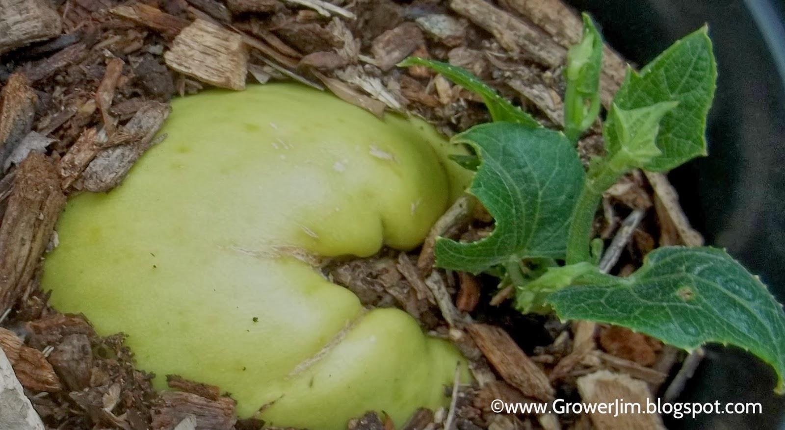 Garden Adventures: Chayote (Sechium edule)