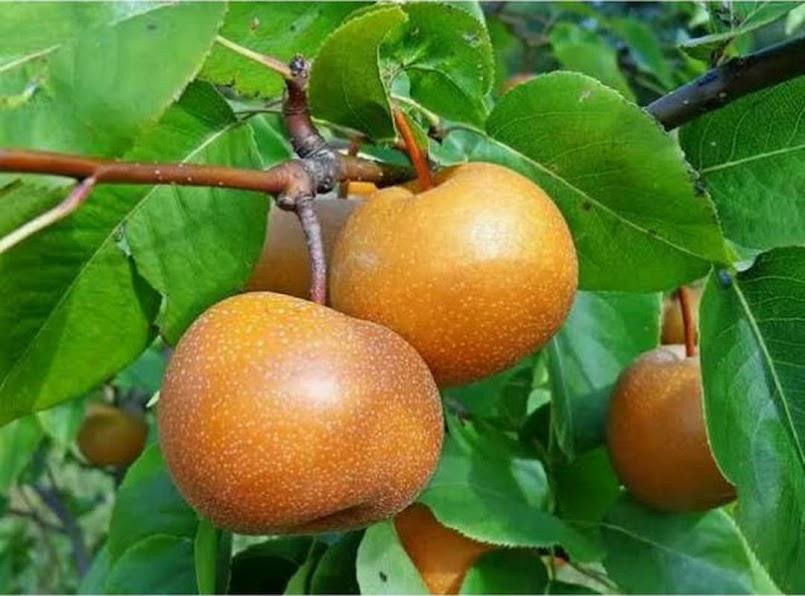 Bibit buah pir asia Sabang