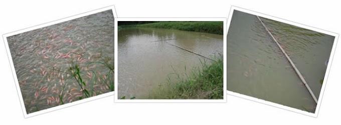Panduan Asas Penternakan Ikan Talapia
