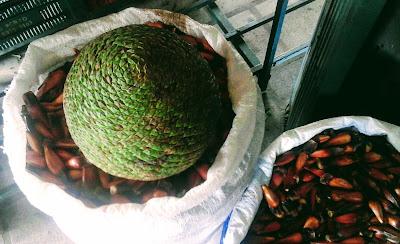 A foto mostra a pinha o fruto da araucária e ao lado as sementes que contém uma amêndoa saborosa.