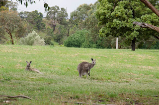 two kangaroos sitting on grass in woodland historic park, melbourne