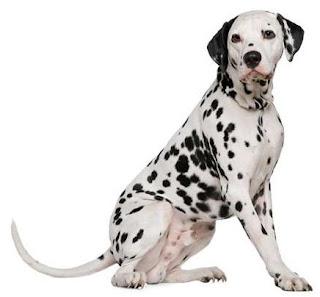 razas de perro mediano dalmata