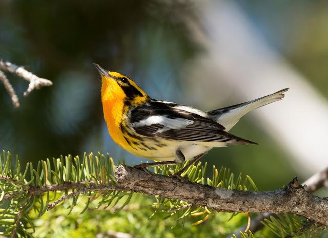 Blackburnian Warbler - Hulbert Bog, Michigan, USA