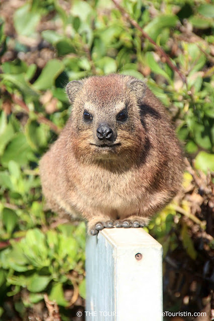 dassie dorothee lefering south africa the touristin rock horax