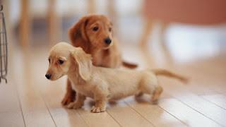 Cara mudah Merawat dan Melatih Anjing Tekel/Dachund