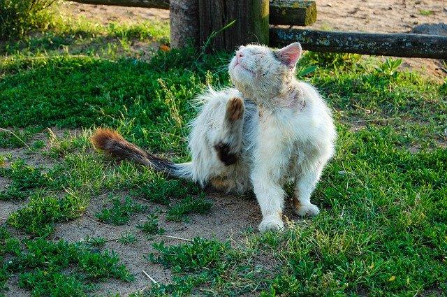 آثار خطيرة للبراغيث على القطط