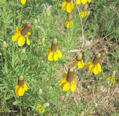 prairie coneflower, Ratibida columnifera
