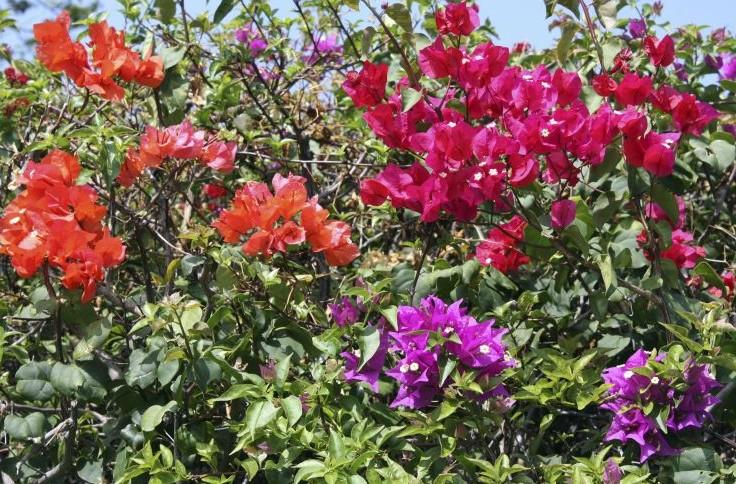 8c923c576 A Primavera (Bougainvillea glabra) é uma trepadeira lenhosa que também pode  ser cultivada como arbusto. Tem florescimento abundante e colorido