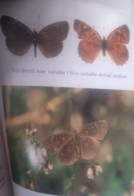 Mariposa marroncita (Ortilia velica)