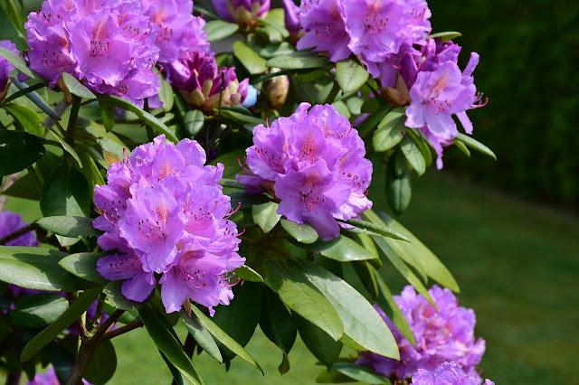 Floración de rododendro