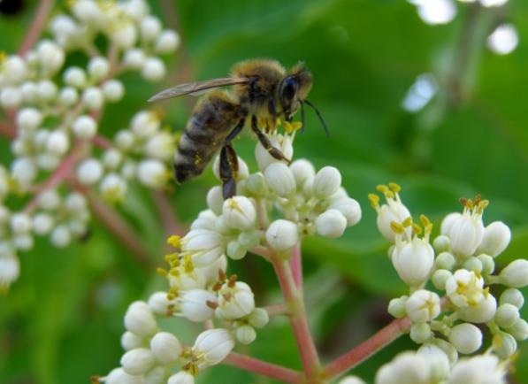 Tetradium daniellii: Το δέντρο που τρελαίνει περισσότερο τις μέλισσες