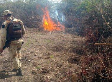 Operação policial destrói 6,8 mil pés de maconha no povoado de Ibiraba