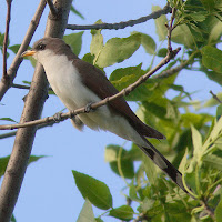 Yellow-billed Cuckoo – Cyprus Lake, Bruce Peninsula National Park, ON – Oct. 25, 2005 – Factumquintus
