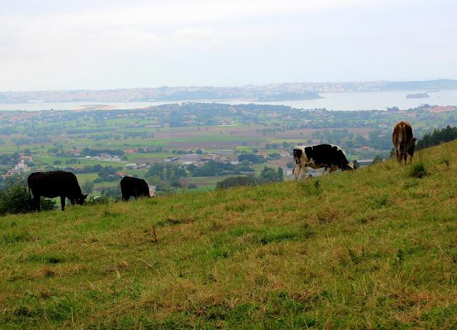 Vistas a la bahía de Santander desde el Tirado. Ruta del Tirado y Calobro en Carriazo. Vacas pastando en Ribamontán al Mar. Cantabria