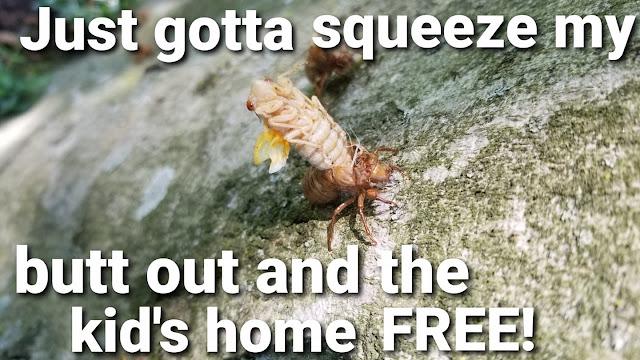 Cicada meme