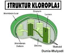 Pengertian, Struktur dan Fungsi Kloroplas