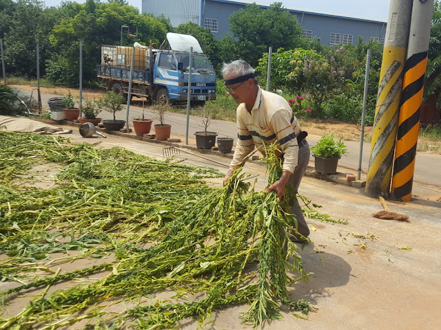 【菜脯埕】老闆正在鋪曬黑芝麻植株