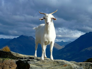 Goat - Photo by Ray Aucott on Unsplash
