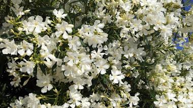 Adelfa blanca. 'La flor del mal' y del Mediterráneo