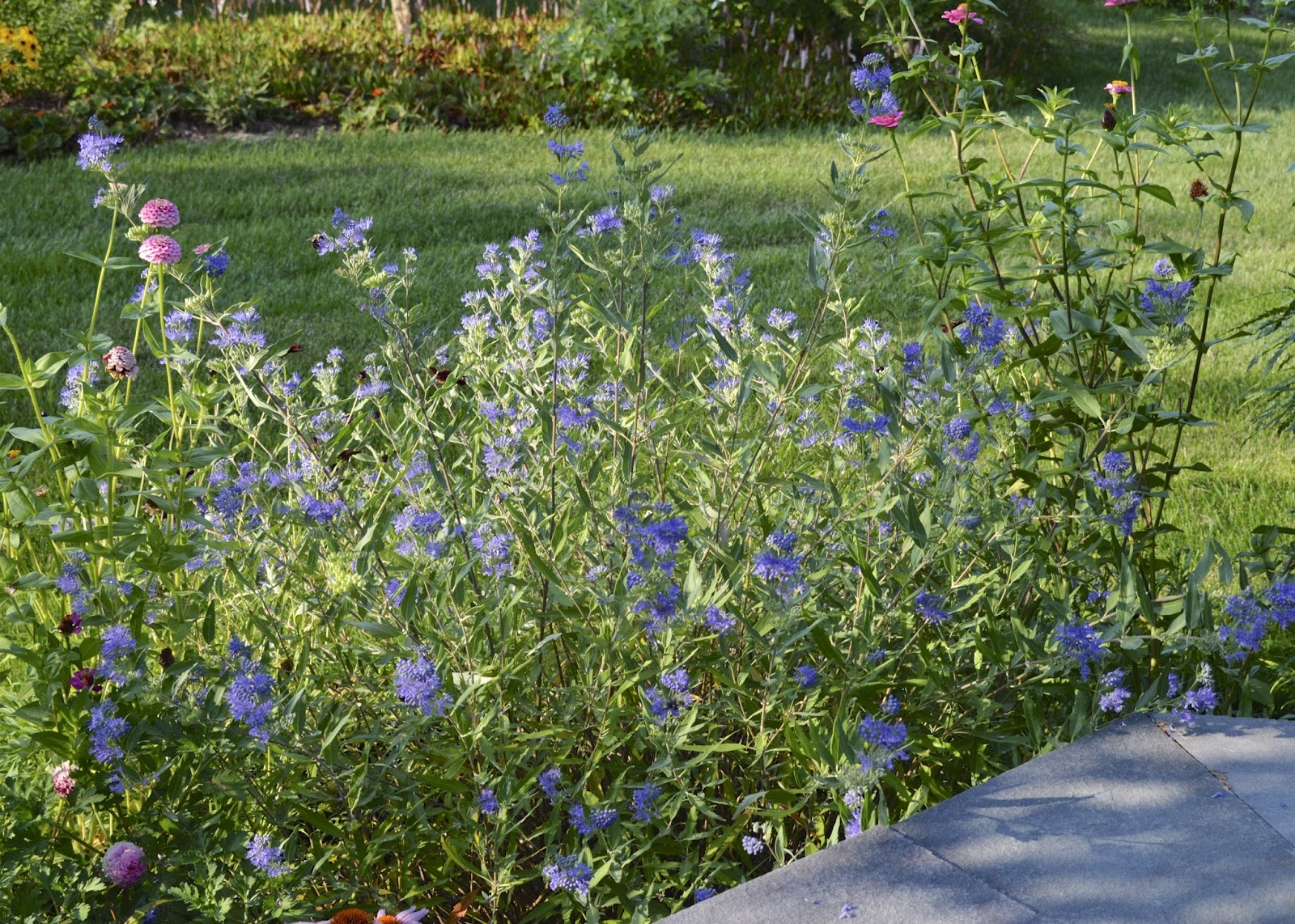 Plant Inventory At 20 Timothy Caryopteris X Clandonensis