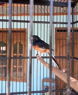 Cara Merawat Murai Batu Cepat Rajin Berkicau Dan Gacor Zona Burung