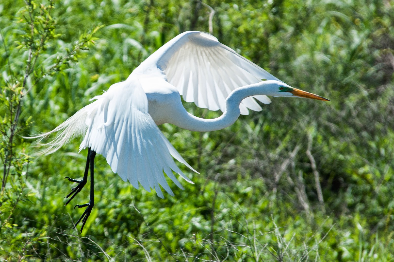 Great Egret, Hagerman Wildlife Refuge