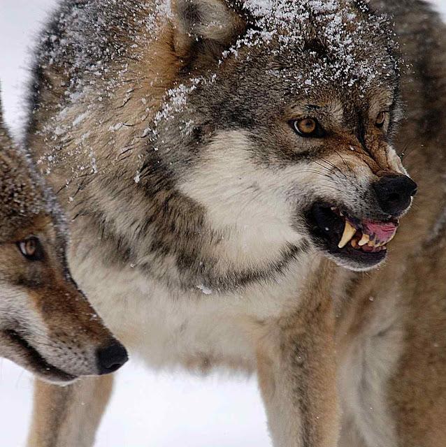 Lobos cinzas (Canis lupus) em Yellowstone, uma espécie espalhada pelos verdes na França